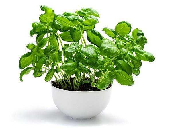 Chỉ cần một muỗng cà phê bột húng quế khô có thể đảm bảo lượng Vitamin K cần thiết cho cơ thể bạn trong một ngày.