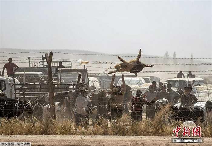 Những người tị nạn Kurd đến từ Syria ném con cừu chết qua rào sắt ở biên giới với Thổ Nhĩ Kỳ