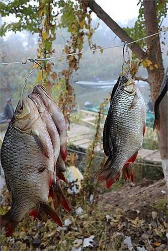 Cá Astrakhan được treo trên dây phơi
