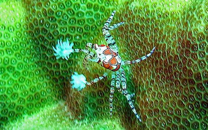 Cua quyền anh có màu sắc sặc sỡ dễ đánh lừa rằng chúng rất dễ thương nhưng nếu bị tấn công, chúng sẽ dùng đôi càng khỏe đấm thẳng vào đối thủ. Cú đấm đủ để giết chết một số sinh vật biển kích thước nhỏ.