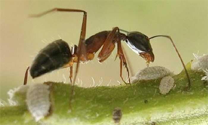 Kiến nổ Malaysia có một tuyến độc rất lớn trong cơ thể. Khi cảm thấy nguy hiểm, chúng tự rạch bụng và cho nổ tung chất độc có tác dụng ăn mòn như axit vào kẻ thù để bảo vệ tổ.