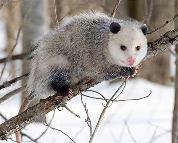Chồn có túi Opossum cũng thích giả chết trên cây hàng giờ đủ để đánh lừa động vật săn mồi, đồng thời phát ra hơi hôi thối màu xanh vào không khí.