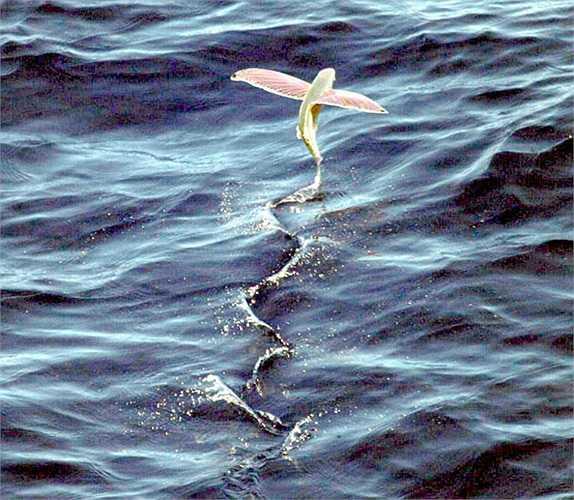 Cá chim đã phát triển khả năng hiếm có là có thê bay hoặc lướt trên mặt nước với quãng đường dài tới 200m bằng tốc độ 60km/h để chạy trốn.
