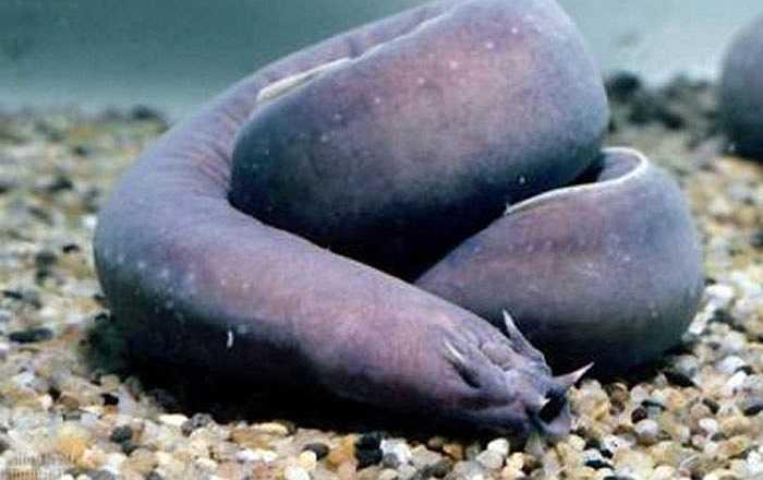 Cá mút đá là loài sinh vật biển có hình thù giống lươn. Khi bị đe dọa, chúng sẽ tiết ra một chất nhầy từ lỗ chân lông. Chất này sau khi trộn với nước biển thì biến thành một thứ nhớt sền sệt mà có thể bẫy con mồi hoặc làm chúng chết ngạt vì tắc mang.