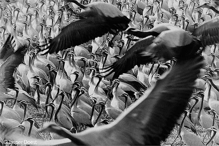 'The elegant crowd': Hàng ngàn con chim hạc trong cuộc di cư hàng năm dừng chân nghỉ  ngơi tại làng Khichan, Ấn Độ.