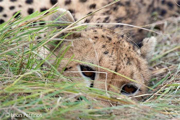 'The watchful Cheetal': Cảnh thư giãn của báo đốm sau khi săn thành công một chú linh dương. Tác giả Leon mới chỉ 8 tuổi, em chụp bức ảnh này khi thăm quan Kenia. Trong khi những người khác tìm cách tránh xa con sư tử thì em khéo léo sử dụng máy ảnh để ghi lại khoảnh khắc này.