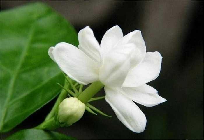 12. Tinh dầu hoa lài (nhài) giúp sát trùng vết thương và giảm đau. Với những ai khó ngủ, căng thẳng bởi công việc hằng ngày, tinh dầu hoa lài sẽ là sự lựa chọn tuyệt vời, mang lại cảm giác thoải mái và dễ chịu.
