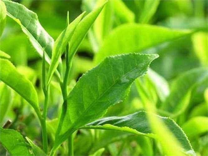 14. Tinh dầu trà nguyên chất nổi tiếng với khả năng chống khuẩn, chống nấm, được dùng rộng rãi để trị gàu, điều trị vết côn trùng cắn, bỏng da, nhiễm nấm và đặc biệt là trị mụn.