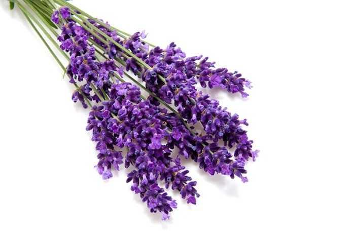 3. Tinh dầu nguyên chất oải hương (tinh dầu lavender) giúp cân bằng và chống stress, tốt cho hệ thống thần kinh, đặc biệt là chữa bệnh đau đầu và chứng mất ngủ. Hít mùi hương của tinh dầu này cũng có thể làm giảm triệu chứng tiền kinh nguyệt và giảm đau.