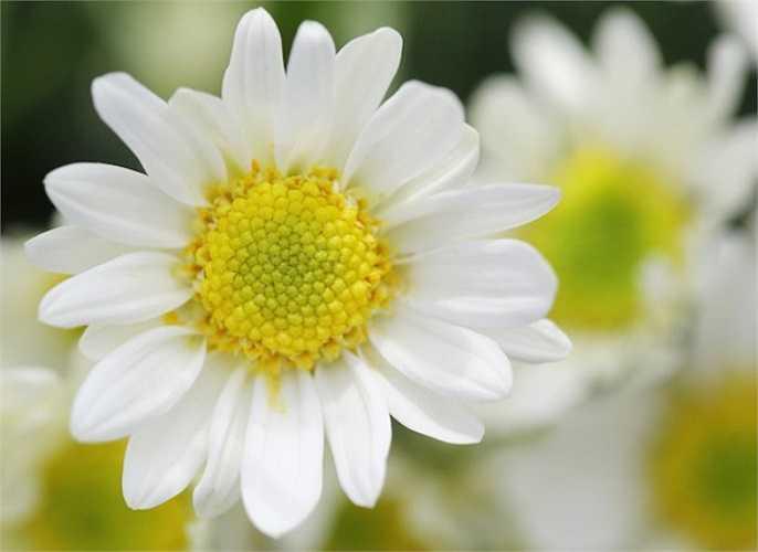 10. Tinh dầu hoa cúc nổi tiếng với tác dụng xoa dịu thần kinh và gây cảm giác buồn ngủ. Do đó, khi bạn mất ngủ, hãy cho vài giọt tinh dầu hoa cúc vào bồn nước ấm để tắm, bạn sẽ có giấc ngủ ngon.