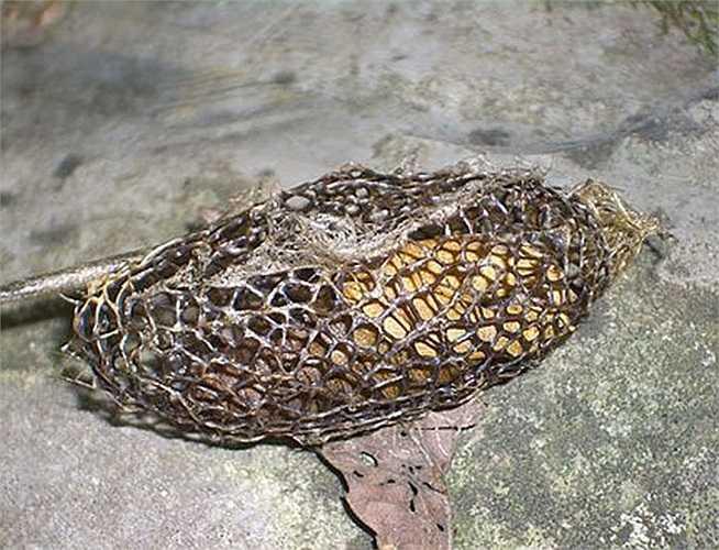 Loài bướm ngài Sponge Fly tạo kén độc đáo và thu hút sau khi phát triển thành nhộng.