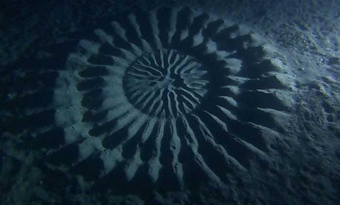 Chiều dài cơ thể chỉ 12 cm, nhưng cá nóc đực có thể tạo ra vòng tròn đường kính 2m để thu hút bạn tình. Cá nóc cái chọn 'vòng tròn tình yêu' phù hợp và đẻ trứng ở trung tâm vòng tròn. Cá đực tưới tinh trùng lên đó và thụ tinh.