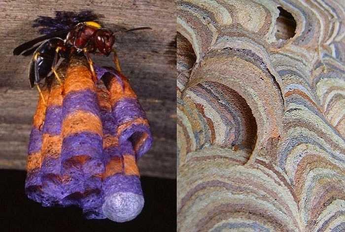 Ong vò vẽ giấy sử dụng sợi của gỗ và thân cây chết để xây dựng tổ. Các nhà nghiên cứu thuộc đại học Illinois đã cung cấp cho chúng những mảnh giấy màu và kết quả là thu được chiếc tổ đầy màu sắc.