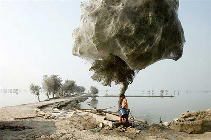 Thoạt nhìn trông giống như trong một bộ phim kinh dị. Năm 2010, lũ lụt tại Pakistan làm cho hàng triệu con nhện đã ẩn náu trên cây. Chúng đã tạo ra mạng lưới nhện khổng lồ khiến người đi qua rùng rợn.