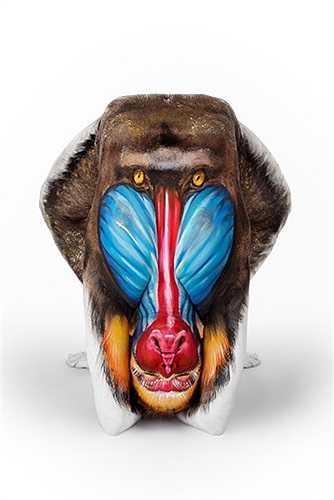 Khuôn mặt màu sắc của giống khỉ Mandrill