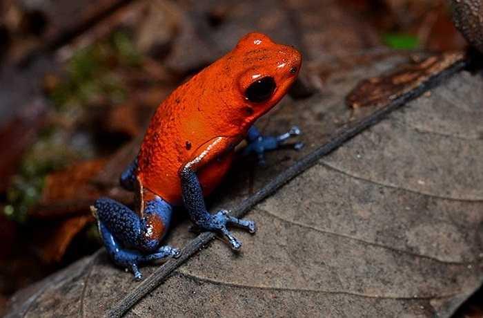 Màu sắc sặc sỡ trong tự nhiên thường là một dấu hiệu nguy hiểm, và những con ếch nhỏ với màu rực rỡ cũng không ngoại lệ.