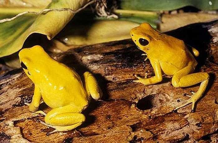 Ếch độc phi tiêu vàng được đánh giá là loài nguy hiểm nhất, độc tố của nó trung bình đủ để giết 10-20 người đàn ông. Đó là con số khá ấn tượng đối với một con vật chỉ phát triển chiều dài gần 4cm.