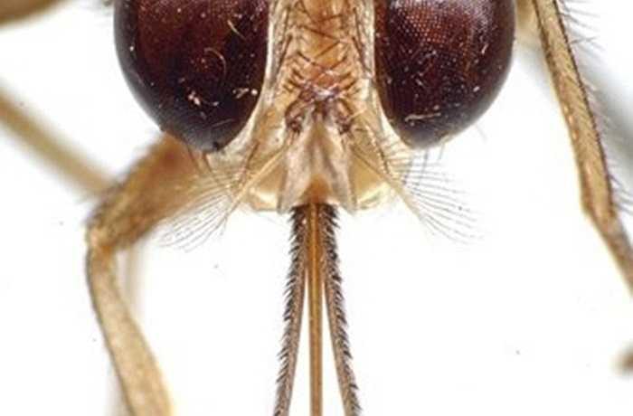 Ruồi xêxi (tsetse) ở Châu Phi được trang bị một vòi lớn, chúng sử dụng để hút máu của động vật có xương lớn, bao gồm cả con người. Nó truyền bệnh do đơn bào Trypanosoma gây ra, còn được gọi là bệnh ngủ.