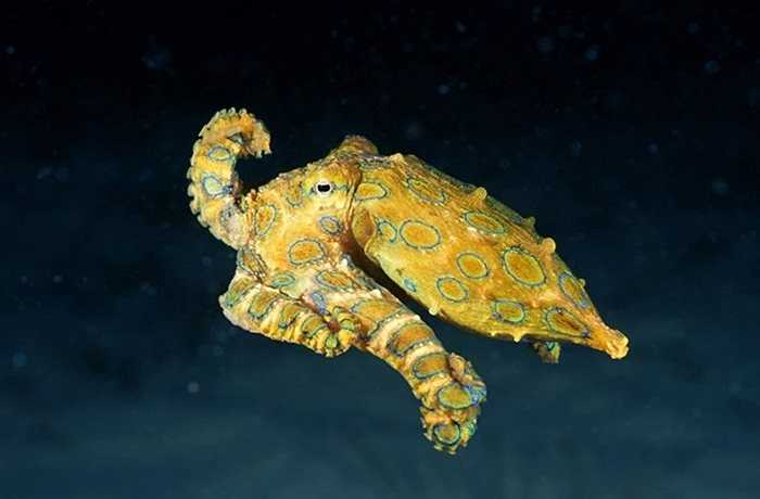 Bạch tuộc đốm xanh mặc dù vô cùng nhỏ. Loài trưởng thành chỉ tăng trưởng kích thước khoảng 5 cm, nhưng bạch tuộc xanh được coi là một trong những sinh vật độc nhất trên thế giới.