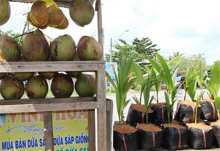 Giá dừa sáp giống 35.000 đồng/cây. Theo nông dân huyện Cầu Kè, có thể do thổ nhưỡng tại địa phương này có gì đó đặc biệt nên dừa cho nhiều trái sáp. Nhiều nông dân Kiên Giang, An Giang, Bạc Liêu... qua đây mua cây giống dừa sáp về trồng nhưng kết quả không khả quan.