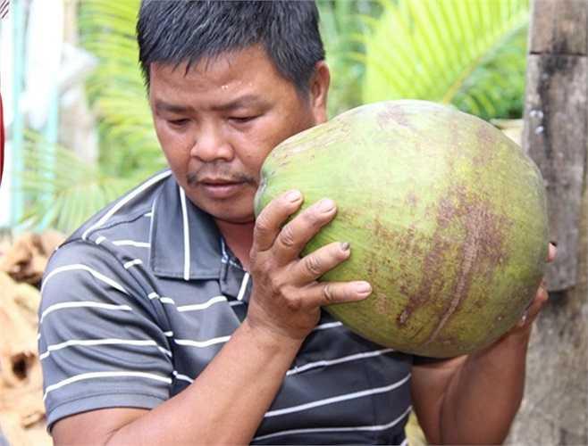 Chủ vựa dừa sáp ở thị trấn Cầu Kè lắc trái dừa thật mạnh để kiểm tra độ sáp trước khi mua vào từ nông dân.