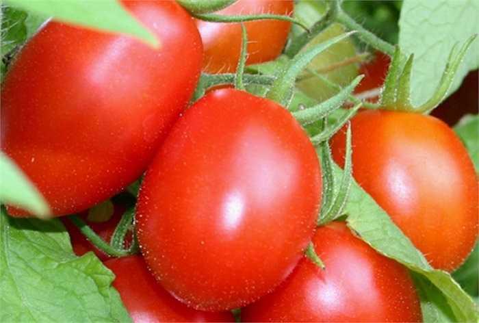 Cà chua, cà rốt ăn sống sẽ lãng phí dinh dưỡng Lycopene trong cà chua và chất β-carotene trong cà rốt. Đây đều là những chất dinh dưỡng tan trong chất béo. Ăn cà rốt nấu chín hoặc nấu với dầu ăn, β-carotene mới có thể được cơ thể hấp thụ tối đa. Ăn sống chỉ làm lãng phí dinh dưỡng.