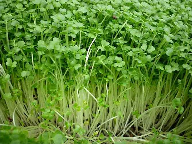 Các loại rau mầm, đặc biệt là mầm cỏ linh lăng, có nhiều nguy cơ liên quan đến vi khuẩn E. coli và salmonella, gây bệnh tiêu chảy. Vì các loại vi khuẩn này phát triển trong môi trường ẩm ướt. Càng nhiều vi khuẩn trên thực phẩm, nguy cơ bạn bị bệnh càng cao.