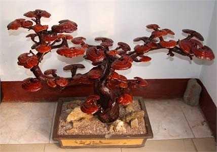Linh chi Bonsai được bán không dưới 1 triệu đồng/ cây, thế nhưng tại các cửa hàng trung bình mỗi ngày vẫn bán được từ 5 tới 10 cây. Càng gần Tết lượng người mua càng tăng, có những cây Bonsai nấm linh chi lên tới chục triệu đồng cũng được bán hết.