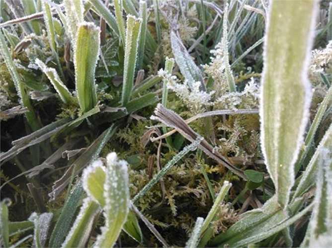 Hiện tượng sương muối ở Thị trấn Sapa, Lào Cai được ghi nhận từ 18 giờ chiều qua 17/12 khi tiếp xúc với khí lạnh ở sát mặt đất đã ngưng kết thành tinh thể băng nhỏ bao phủ lên cây cối, thảm thực vật. (Ảnh: Báo Lào Cai)