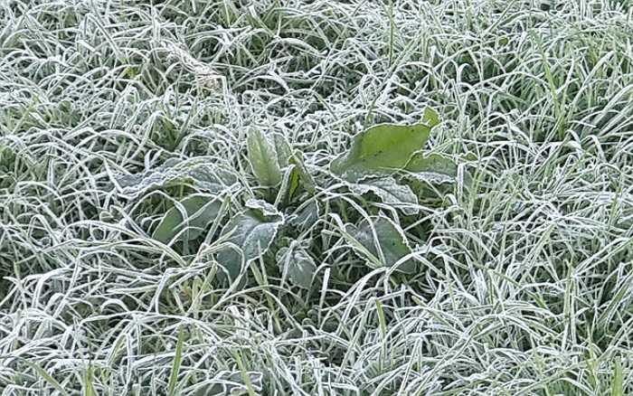Đây là đợt sương muối đầu tiên 'tấn công' Sa Pa trong mùa đông năm nay. (Ảnh: Dân Việt)
