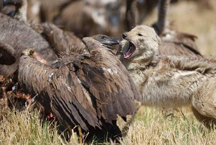 Trong hình là cuộc chạm trán của một con chó rừng và đối thủ kền kền lưng trắng để tranh giành thịt trâu ở Botswana. Cả hai loài đều có nhu cầu cao đối với con mồi bị bỏ lại, do vậy cuộc chiến hết sức cam go.