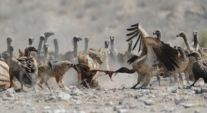 Đến lúc này, dường như đàn kền kền đã đông đủ đến mức chúng dám xông vào dành mồi với lũ chó rừng.