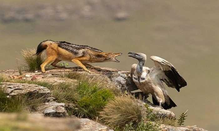 ... một trận chiến cam go giữa đối thủ chó rừng và kền kền diễn ra kịch liệt.