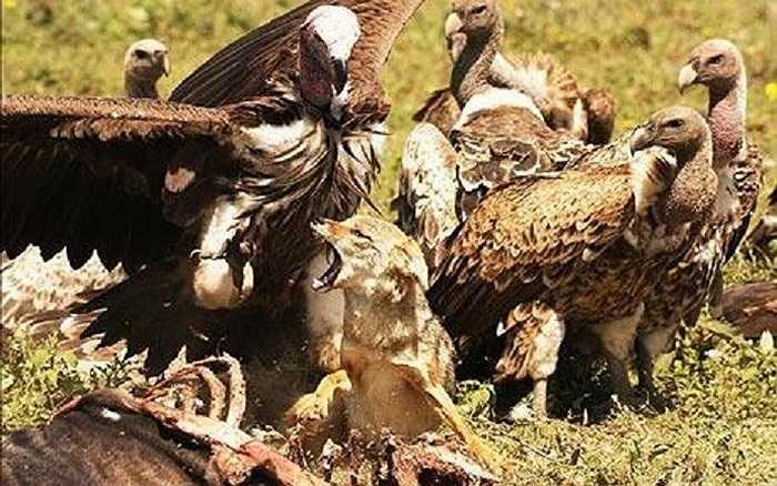 Một đàn khoảng 30 con kền kền vây kín xung quanh một con chó để tranh giành miếng mồi dê rừng.