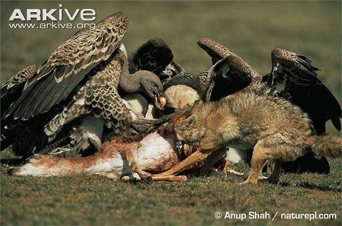 Cả kền kền và chó rừng đều hung hăng cấu xé con mồi đã chết.