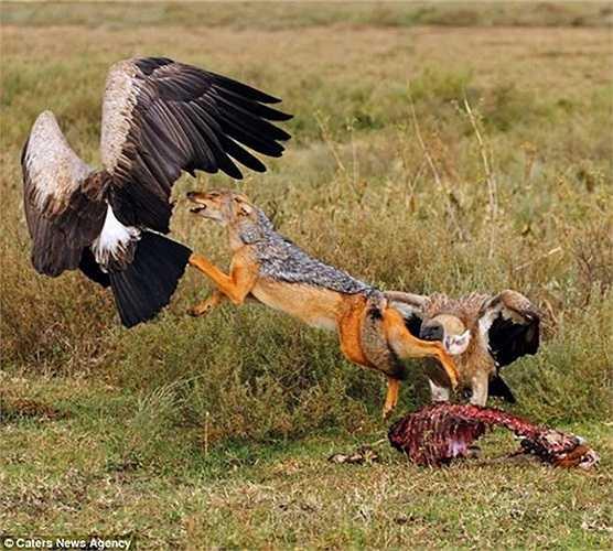Đằng trước đằng sau chó rừng đều có địch thủ tấn công dồn dập, hung bạo. Thường xuyên tìm kiếm và ăn xác thối nên những cuộc đụng độ giữa hai loài này liên tục xảy ra.