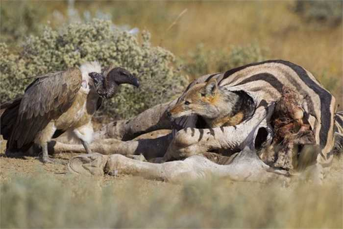 Kền kền thèm thuồng muốn được chia sẻ vài miếng thịt ngựa vằn nhưng có vẻ con chó rừng này nhất quyết không cho. (Ảnh chụp tại công viên quốc gia Etosha ở Namibia).