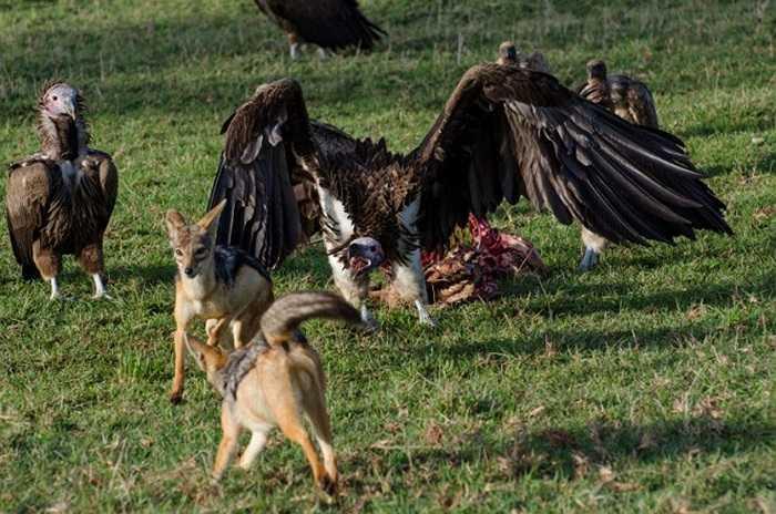 Đến hiệp 2, kền kền dường như đã dành được ưu thế. Chó rừng lưng đen thường đi săn theo cặp hoặc thành từng nhóm nhỏ.
