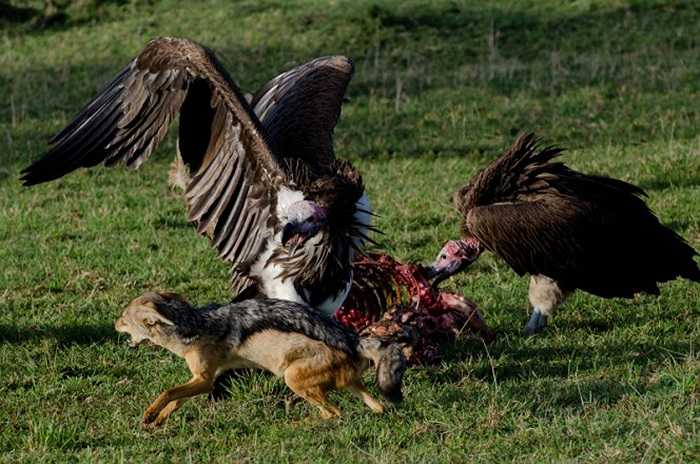 Tuy nhiên, trong trận chiến này, cặp đôi chó rừng đành đầu hàng trước lũ kền kền hung hăng.
