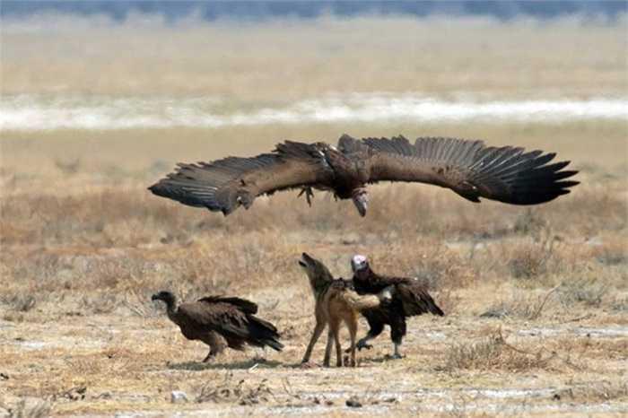 Con chó rừng lưng đen này bị bao vây bởi 3 con kền kền nhằm tranh giành một xác chết ở Namibia.
