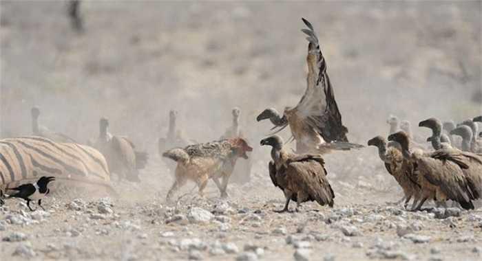 Căng thẳng hơn, con chó rừng phải đối phó với cả đàn kền kền đông đúc. Mỗi xác chết như thế phải thu hút tới hơn 100 con kền kền nên nếu chó rừng muốn giành mồi thì phải thật sự nỗ lực.