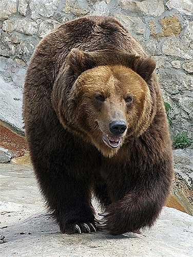 Tuy là loài vật có sức mạnh phi thường và vô cùng hung dữ, chỉ cần một cú tát là giết người, nhưng rất ít trường hợp ghi nhận loài vật khổng lồ này tấn công con người.