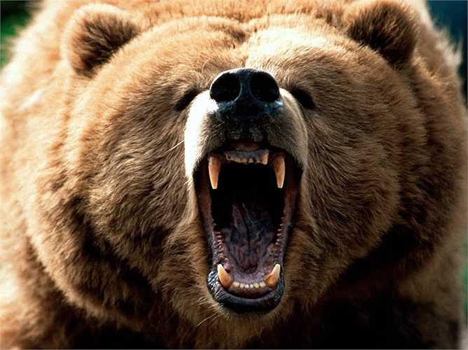 Trong tự nhiên, gấu nâu là đối thủ tranh cướp thức ăn với loài hổ ranh mãnh. Đã có nhiều vụ tranh cướp và kẻ thiệt mạng là những chú hổ.