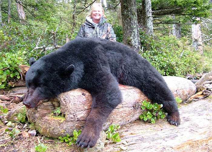 Loài gấu khổng lồ này thường hoạt động riêng lẻ, nhưng đến mùa sinh sản của cá hồi người ta lại bắt gặp chúng kết hợp lại thành từng đàn để săn mồi.