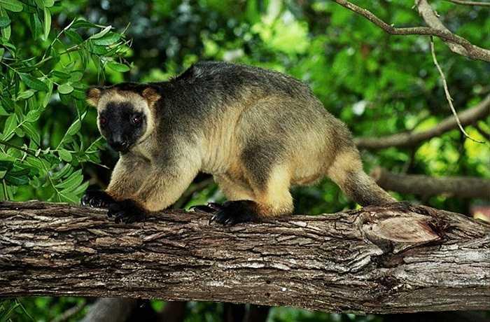 Sau khi thưởng thức xong, chúng thường thả rơi tự do tất cả phần còn lại của con mồi xuống mặt đất. Loài này thường được tìm thấy ở khu vực Queensland, Australia.
