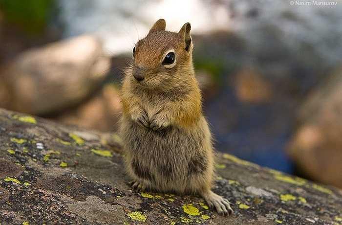 Thực đơn chủ yếu của sóc chuột gồm cỏ, nấm, côn trùng, và đôi khi là một vài con ếch nhỏ. Chính vì vậy, nhiều người sẽ lầm tưởng đó là loài vật hết sức hiền lành, đáng yêu.