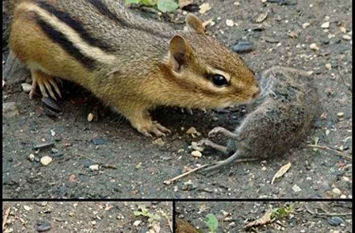 Tuy nhiên, các nhà khoa học đã phát hiện ra nhiều trường hợp não chuột cũng nằm trong thực đơn của chúng. Điều chưa giải thích được là sóc chuột thường bỏ phí phần thịt còn lại, mà chỉ tập trung vào bộ óc.