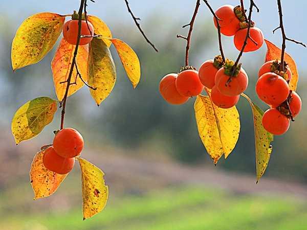 Cải thiện tiêu hóa: Các chất xơ có trong quả hồng cũng giúp cải thiện hệ tiêu hóa và ngăn ngừa táo bón. Thành phần tannin trong quả hồng có tác dụng ngăn ngừa bệnh tiêu chảy.