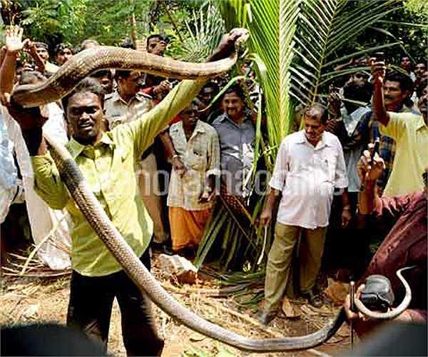 Bang Kerala (Ấn Độ) là vùng đất có rất nhiều loài rắn, trong đó có loài rắn chúa khổng lồ, dài tới 5-6m, nặng đến 20kg.