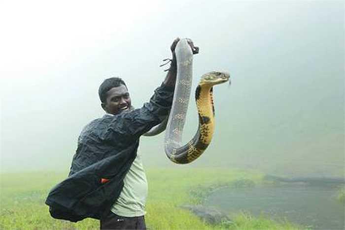 Mấy chục năm qua, Vava Suresh tiếp xúc với rắn mà không cần đến công cụ hỗ trợ nào cả. Anh chỉ dùng đôi tay trần của mình để bắt rắn.
